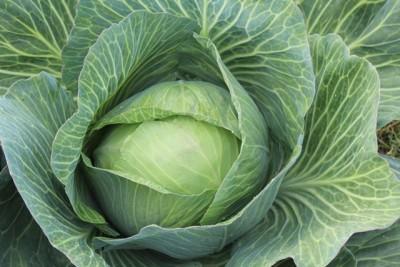 white cabbage 432608 Copy